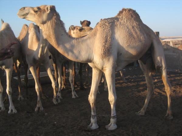 Mauritanie : un convoi de pèlerins bloqué à Rosso - Leurs dromadaires sont en cause