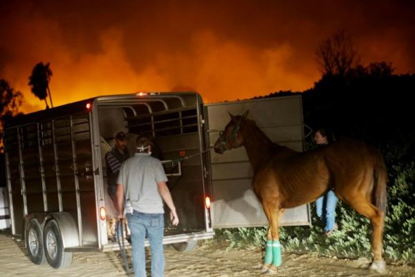 En Californie, la folle course des purs sangs contre les flammes