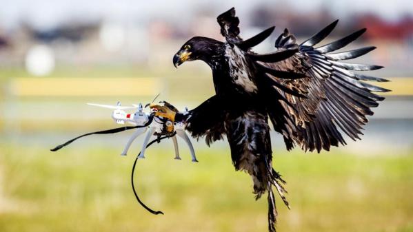 """La police néerlandaise """"licencie"""" des aigles dressés pour capturer des drones"""