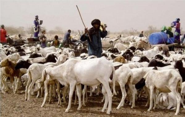 Le cheptel mauritanien en « situation de catastrophe »