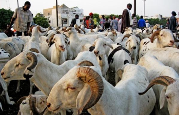 Fête d'El Id El Kebir Le mouton hors de portée