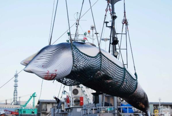 Le Japon reprend la chasse commerciale à la baleine après 30 ans d'interruption