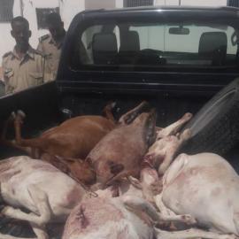 Nouakchott/Sécurité : Coup de filet de la gendarmerie dans le milieu des voleurs de bétail