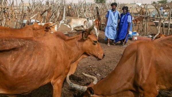 Inquiétude des éleveurs en Mauritanie