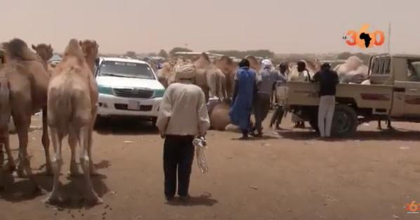 Mauritanie : un tour au marché de boeufs et chameaux de Nouakchott