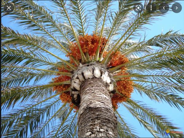 Lancement d'un programme d'aménagement de 250 ha pour la culture du palmier dattier et le maraîchage en Assaba