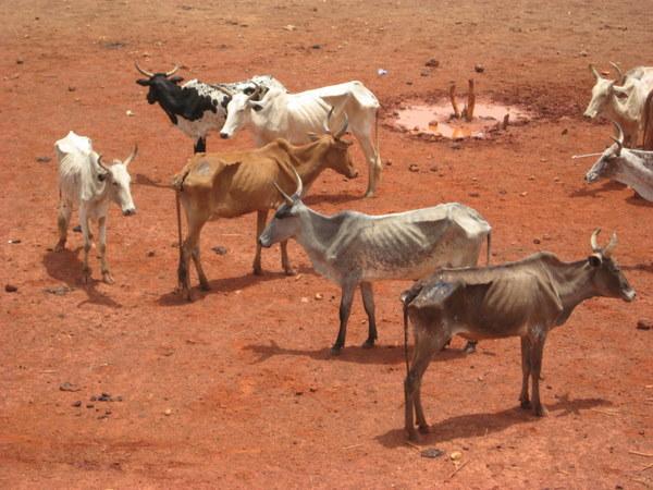 Aliments de bétail et pâturage : cheptel et éleveurs menacés par une longue soudure