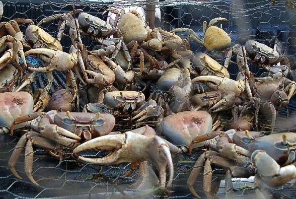 Sherpa dans un panier de crabes mauritanien