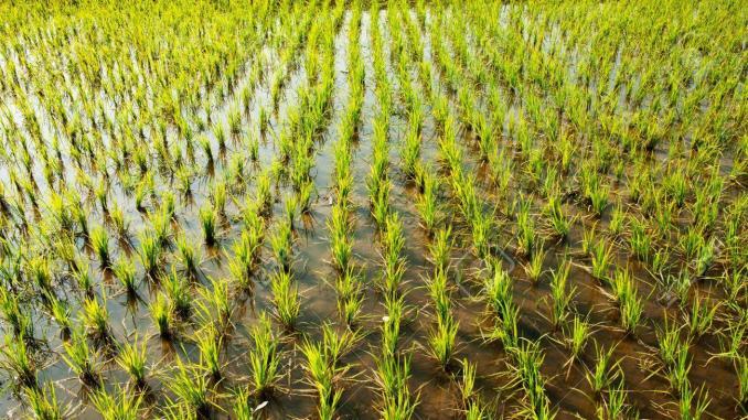 La campagne rizicole démarre enfin à Kaédi