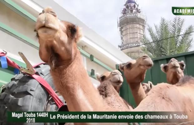 Des chameaux du Président mauritanien au Khalife des Mourides