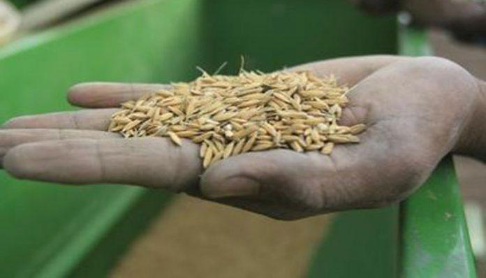 Poursuite des opérations de la moisson du riz de la campagne hivernale