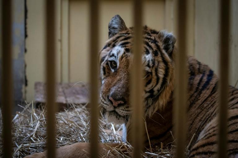 Pologne: cinq tigres rescapés sont partis pour l'Espagne