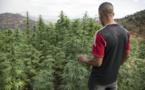 """Au Maroc, le cannabis """"terroir"""" supplanté par les hybrides"""