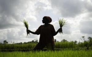 La Mauritanie veut produire 340.000 tonnes de riz